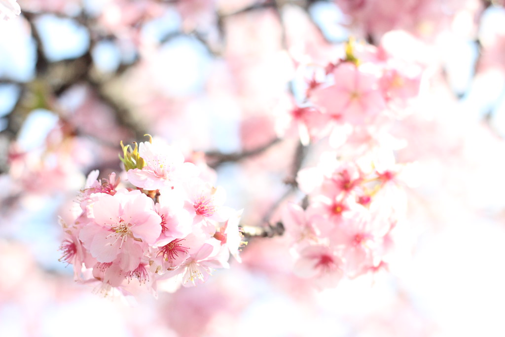 "Image credit: ""Kawazu zakura sakura cherry blossom Japan 河津桜 桜 サクラ 日本 (11)"" by zaimoku_woodpile"